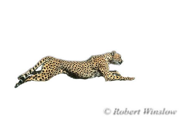Running Cheetah (Acinonyx jubatus), controlled conditions