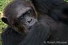 Older Chimpanzee Resting (Pan troglodytes), Sweetwaters Chimpanzee Sanctuary, Ol Pejeta Conservancy, Kenya, Africa