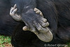 Chimpanzee (Pan troglodytes) With Hand and Foot Clasped Together, Sweetwaters Chimpanzee Sanctuary, Ol Pejeta Conservancy, Kenya, Africa