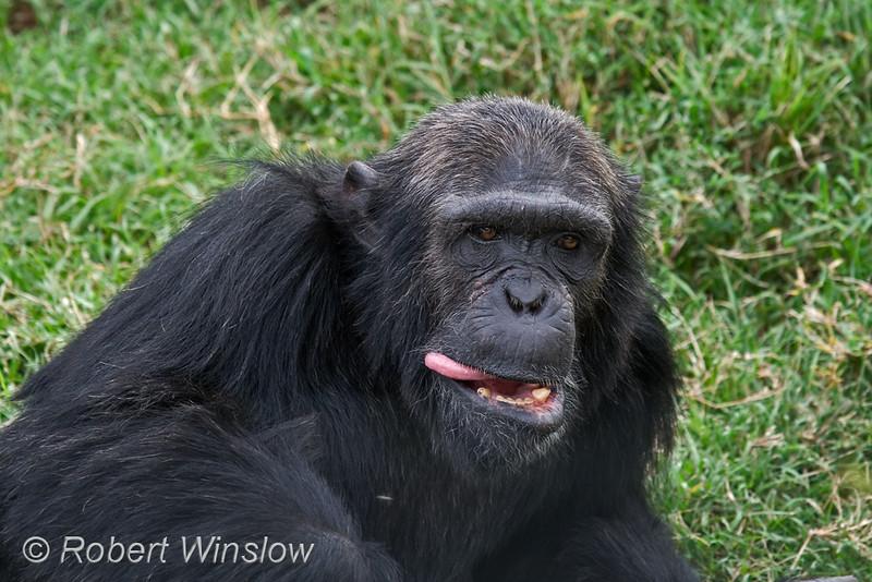Chimpanzee With His Tongue Sticking Out (Pan troglodytes), Sweetwaters Chimpanzee Sanctuary, Ol Pejeta Conservancy, Kenya, Africa