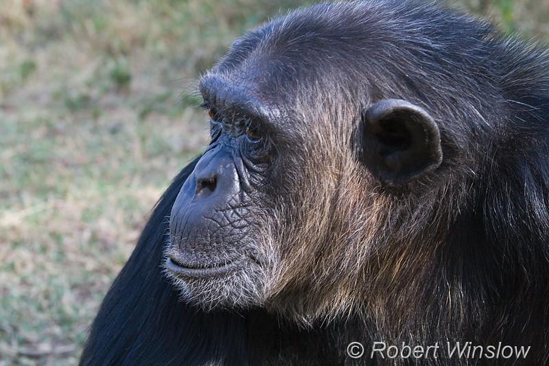 Chimpanzee, Pan troglodytes, Sweetwaters Chimpanzee Sanctury, Ol Pejeta Conservancy, Kenya, Africa