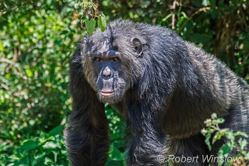 Chimpanzee, Pan troglodytes, Sweetwaters Chimpanzee Sanctuary, Ol Pejeta Conservancy, Kenya, Africa