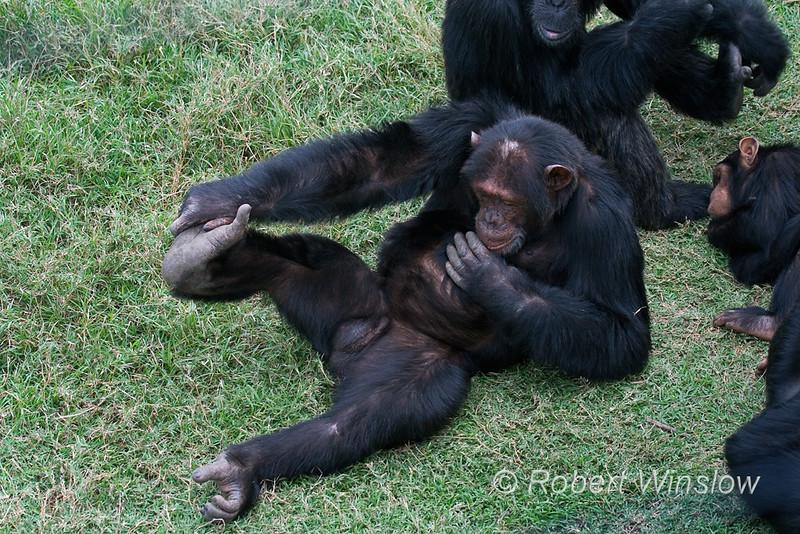 Chimpanzee (Pan troglodytes) Stretching, Sweetwaters Chimpanzee Sanctuary, Ol Pejeta Conservancy, Kenya, Africa