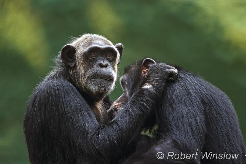 Pygmy Chimpanzees, Bonobo, Pan paniscus, Found in Zaire, Africa, Endangered Species