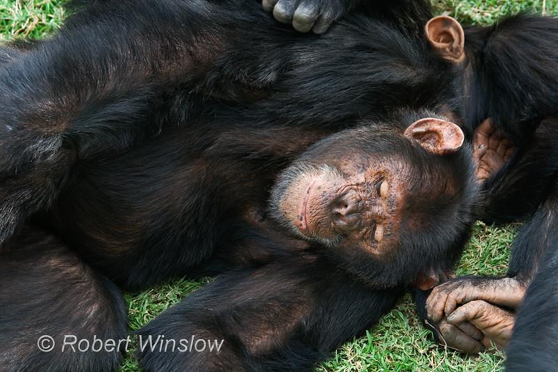 Chimpanzee (Pan troglodytes), Resting, Sweetwaters Chimpanzee Sanctury, Ol Pejeta Conservancy, Kenya, Africa