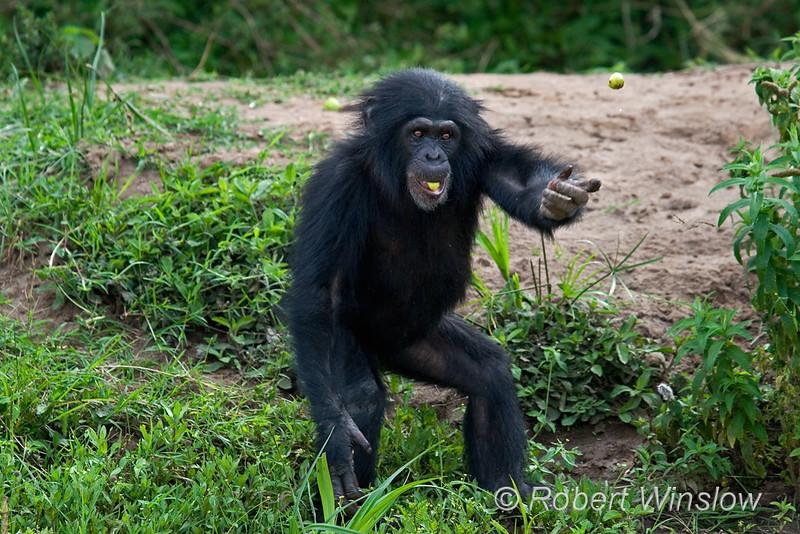 Chimpanzee catching a Fruit being Tossed to it, (Pan troglodytes), Sweetwaters Chimpanzee Sanctuary, Ol Pejeta Conservancy, Kenya, Africa