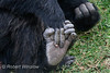 Chimpanzee Holding Its Hand with Its Foot, (Pan troglodytes), Sweetwaters Chimpanzee Sanctuary, Ol Pejeta Conservancy, Kenya, Africa