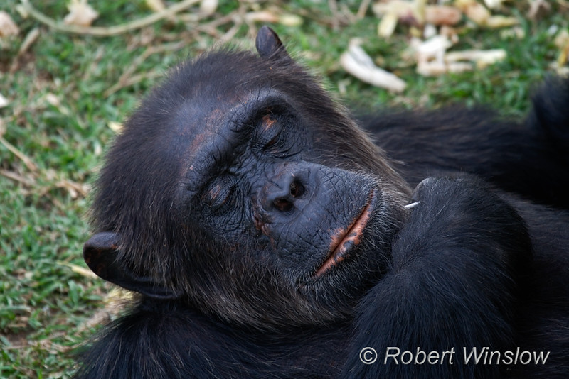 Chimpanzee (Pan troglodytes), Sweetwaters Chimpanzee Sanctuary, Ol Pejeta Conservancy, Kenya, Africa