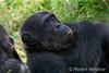 Chimpanzee (Pan troglodytes), Sweetwaters Chimpanzee Sanctury, Ol Pejeta Conservancy, Kenya, Africa