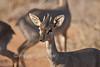Guenther's Dik-dik, Madoqua guentheri, aka, Gunther's Dik-dik, Madoqua gunther, Samburu National Reserve, Kenya, Africa