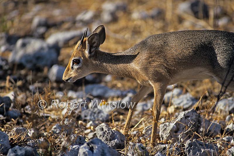 Darma Dik-dik, subspecies of Kirk's Dik-dik, Madoqua kirkii damarensis, Etosha National Park, Namibia, Africa