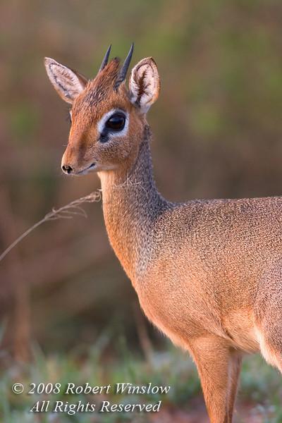 Kirk's Dik Dik, Madoqua kirkii, Masai Mara National Reserve, Kenya, Africa