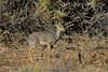 Kirk's Dik-dik, Madoqua kirkii, Samburu National Reserve, Kenya, Africa