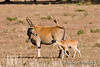 Mother and Baby Eland or Common Eland, Tragelaphus (Taurotragus) oryx, Lewa Wildlife Conservancy, , Kenya, Africa.  The biggest and slowest of all the antelope.