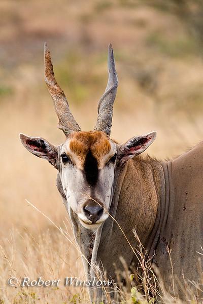 Eland or Common Eland, Tragelaphus (Taurotragus) oryx, Nairobi National Park, Kenya, Africa.  The biggest and slowest of all the antelope.