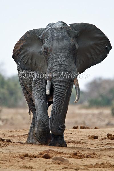 African Elephant, Loxodonta africana, Covered with Mud from Water Hole, Tsavo East National Park, Kenya, Africa, Proboscidea Order, Elephantidae Family