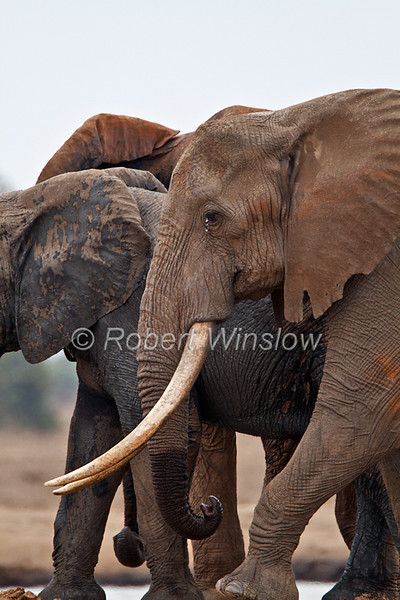 African Elephants, Loxodonta africana, With Big Tusks, Tsavo East National Park, Kenya, Africa, Proboscidea Order, Elephantidae Family