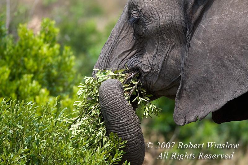 African Elephant (Loxodonta africana), Feeding on Ucuclear devurnium, Masai Mara National Reserve, Kenya, Africa