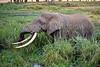 African Elephant, Loxodonta africana, Ngorongoro Crater, Tanzania, Africa,  Proboscidea Order, Elephantidae Family
