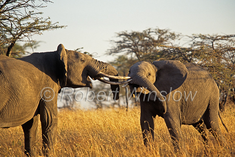 Two African Elephants, Loxodonta africana, Sparring, Masai Mara National Reserve, Kenya, Africa,  Proboscidea Order, Elephantidae Family