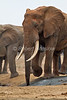 African Elephants, Loxodonta africana, Large Tusks, Tsavo East National Park, Kenya, Africa, Proboscidea Order, Elephantidae Family