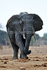 African Elephant, Loxodonta africana, Covered with Mud from Water Hole, Tsavo East National Park, Kenya, Africa, Proboscidea Order, Elephantidae Family