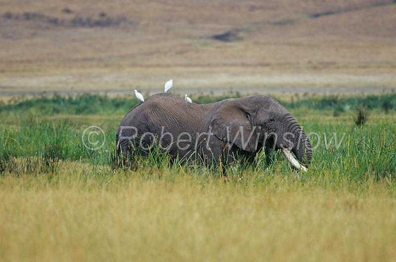 African Elephant, Loxodonta africana, Egrets on its back, Ngorongoro Crater, Tanzania, Africa,  Proboscidea Order, Elephantidae Family