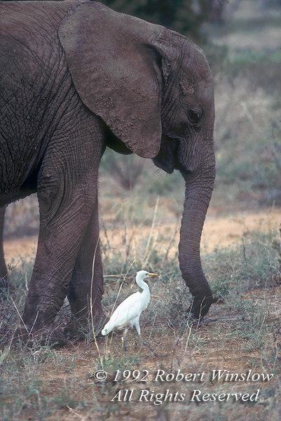 Young African Elephant (Loxodonta africana) and Cattle Egret, Feeding but Distroying Trees, Samburu National Reserve, Kenya, Africa