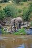 African Elephant, Loxodonta africana, Drinking, Mara River, Masai Mara National Reserve, Kenya, Africa,  Proboscidea Order, Elephantidae Family