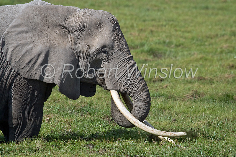 African Elephant, Loxodonta africana, Amboseli National Park, Kenya, Africa, Proboscidea Order, Elephantidae Family