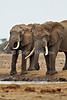 African Elephants, Loxodonta africana, Drinking Water, Tsavo East National Park, Kenya, Africa, Proboscidea Order, Elephantidae Family