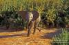 Baby African Elephant (Loxodonta africana), Samburu National Reserve, Kenya