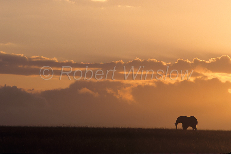 African Elephant, Loxodonta africana, Sunrise, Masai Mara National Reserve, Kenya, Africa,  Proboscidea Order, Elephantidae Family