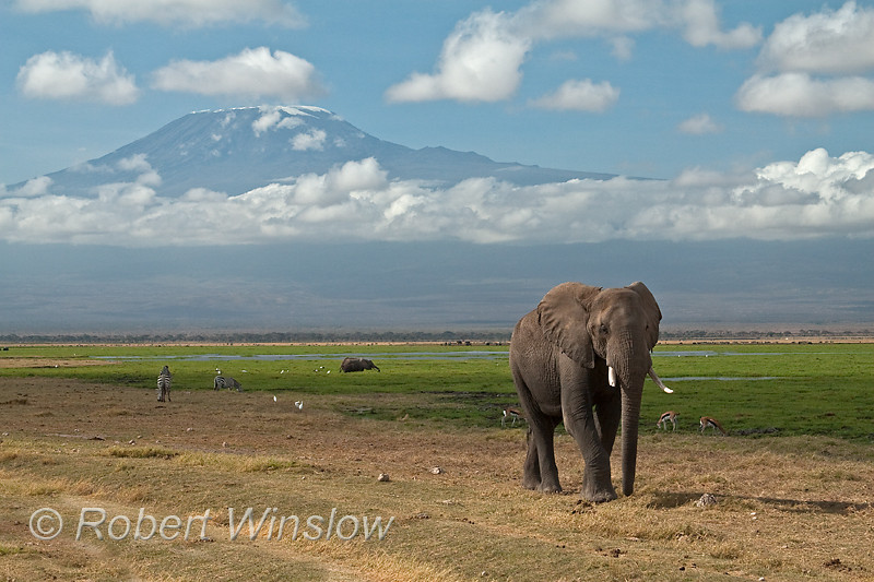 African Elephants and Mount Kilimanjaro, Amboseli National Park, Kenya, Africa