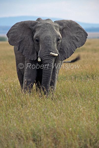 African Elephant, Loxodonta africana, Masai Mara National Reserve, Kenya, Africa,  Proboscidea Order, Elephantidae Family