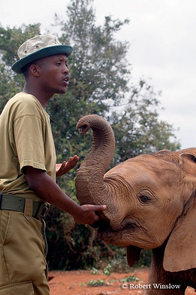 Baby African Elephant (Loxodonta africana) with Keeper, Daphne Sheldrick Animal Orphanage, Nairobi, Kenya, Africa