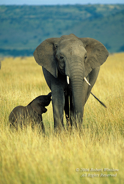Baby African Elephant less than one hour old with mother and other elephants, Masai Mara, Kenya