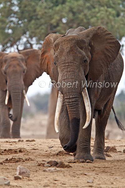 Male, African Elephants, Loxodonta africana, Tsavo East National Park, Kenya, Africa, Proboscidea Order, Elephantidae Family