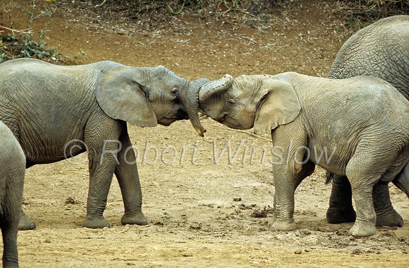 African Elephant, Loxodonta africana, Mount Kenya National Park, Kenya, Africa,  Proboscidea Order, Elephantidae Family