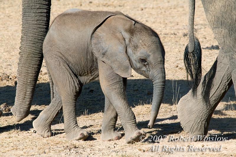 Baby African Elephant (Loxodonta africana), Amboseli National Park, Kenya, Africa