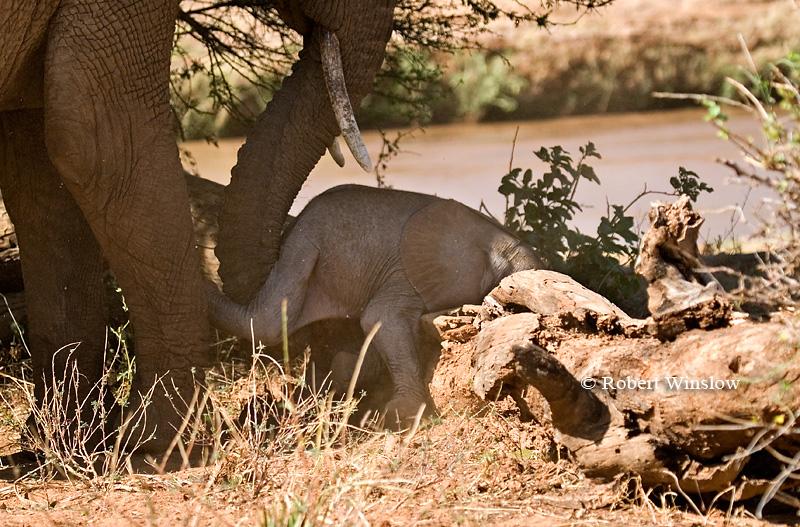 Mother Helping Baby African Elephant Over a Log, Loxodonta africana, Samburu National Reserve, Kenya, Africa
