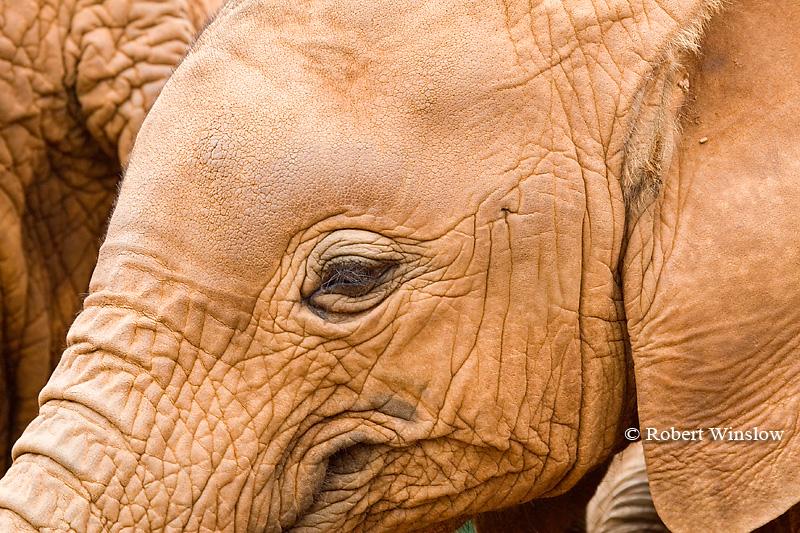 Baby African Elephant (Loxodonta africana), Daphne Sheldrick Animal Orphanage, Nairobi, Kenya, Africa