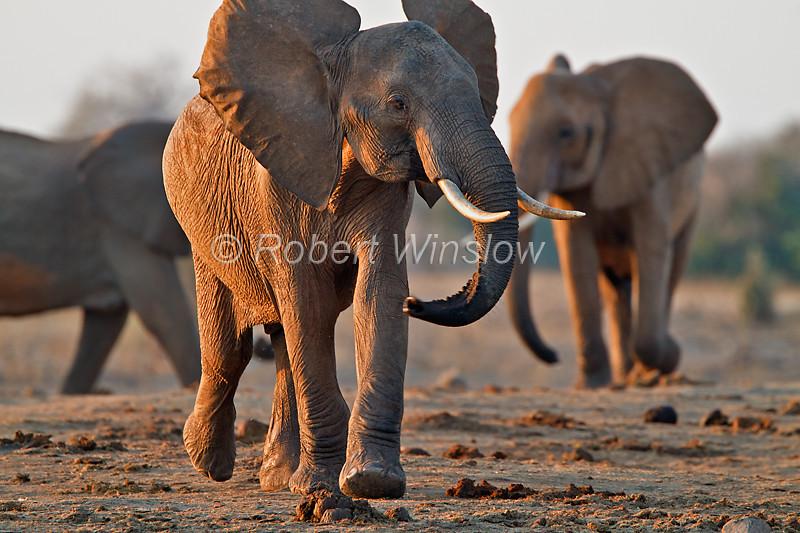 African Elephants, Loxodonta africana, Tsavo East National Park, Kenya, Africa, Proboscidea Order, Elephantidae Family