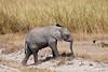 Baby African Elephant, Loxodonta africana, Amboseli National Reserve, Kenya, Africa, Proboscidea Order, Elephantidae Family