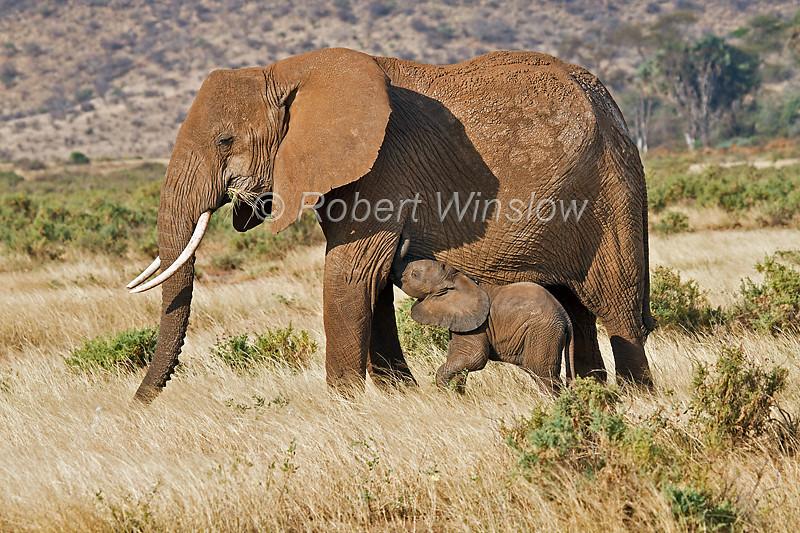 Baby African Elephant, Loxodonta africana, Nursing, Samburu National Reserve, Kenya, Africa, Proboscidea Order, Elephantidae Family