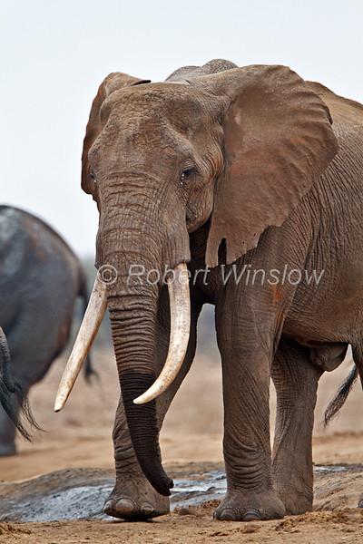African Elephant, Loxodonta africana, with Big Tusks at Water Hole, Tsavo East National Park, Kenya, Africa, Proboscidea Order, Elephantidae Family