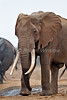 African Elephant, Loxodonta africana, with Big Tusks at Water Hole, Tsavo East National Park, Kenya, Africa, Proboscidea Order, Elephantidae Family