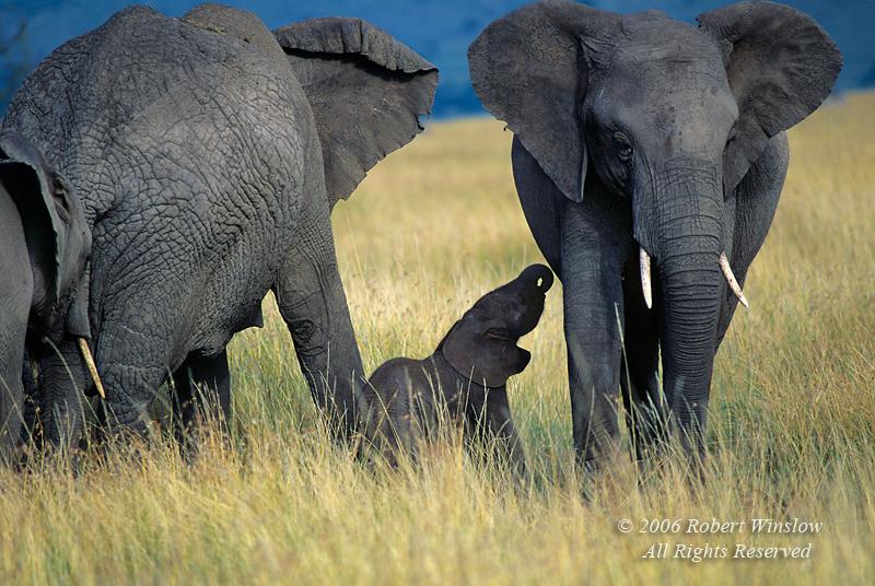 Baby African Elephant, Less than One Hour Old, Loxodonta africana, Masai Mara National Reserve, Kenya, Africa