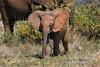 Baby, African Elephant (Loxodonta africana), Samburu National Reserve, Kenya, Africa