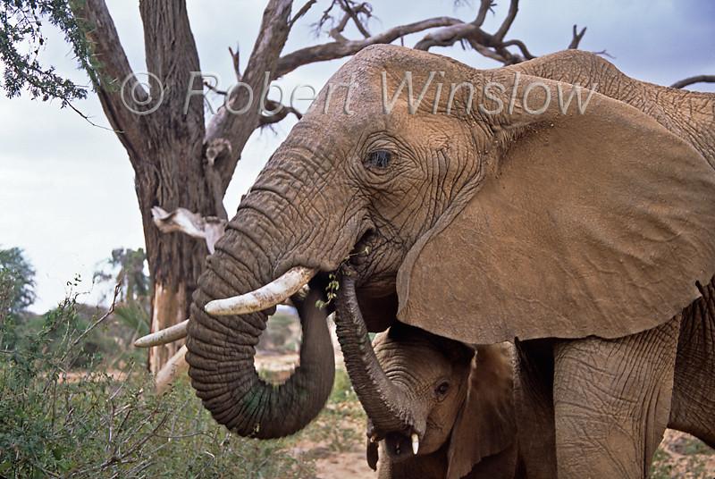 Mother and Baby African Elephants, Loxodonta africana, Samburu National Reserve, Kenya, Africa, Proboscidea Order, Elephantidae Family